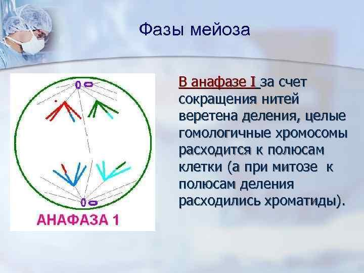 Фазы мейоза В анафазе I за счет сокращения нитей веретена деления, целые гомологичные хромосомы