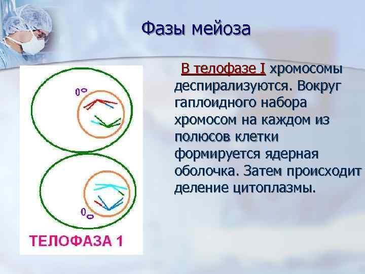 Фазы мейоза  В телофазе I хромосомы деспирализуются. Вокруг гаплоидного набора хромосом на каждом