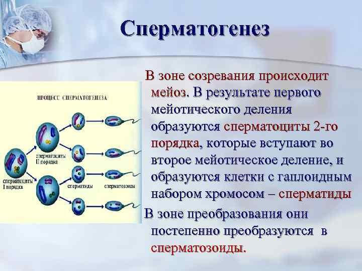 Сперматогенез В зоне созревания происходит  мейоз. В результате первого  мейотического деления