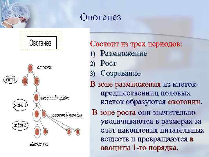 Овогенез  Состоит из трех периодов:  1) Размножение 2) Рост 3) Созревание В