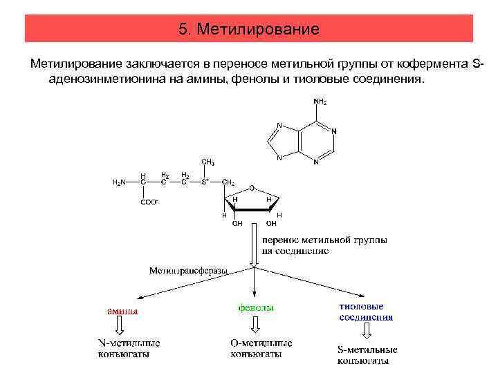 5. Метилирование заключается в переносе метильной группы от кофермента Sаденозинметионина на амины, фенолы и