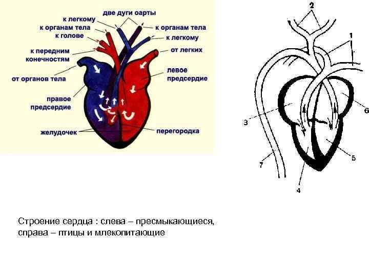 обыкновенный картинки строения сердца птицы для