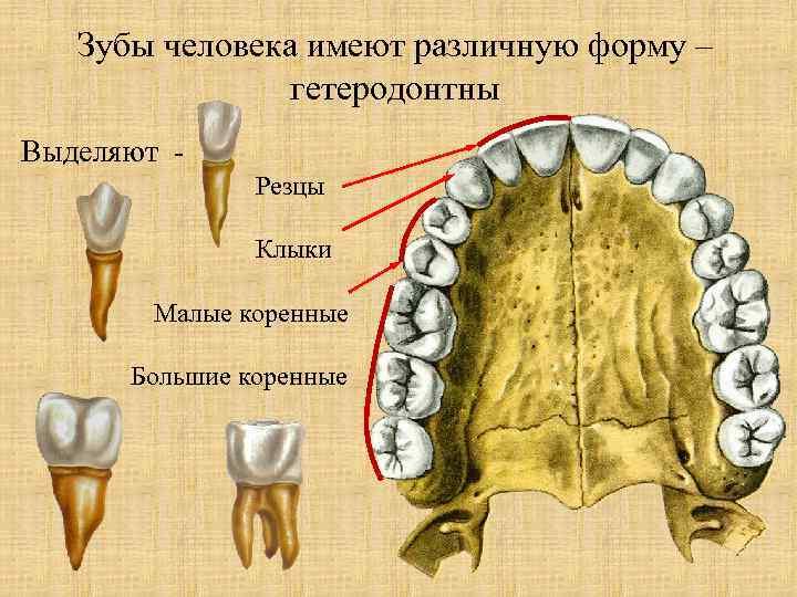 типы зубов человека в картинках роста хойи