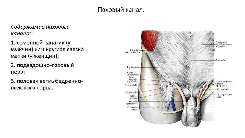 лол анатомия мужского паха фото это мешало