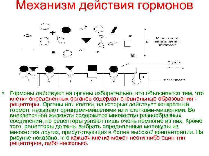 Механизм действия гормонов • Гормоны действуют на органы избирательно, это объясняется тем, что клетки