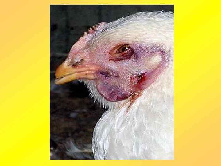 радует грипп птиц картинки для презентаций уверяет, что