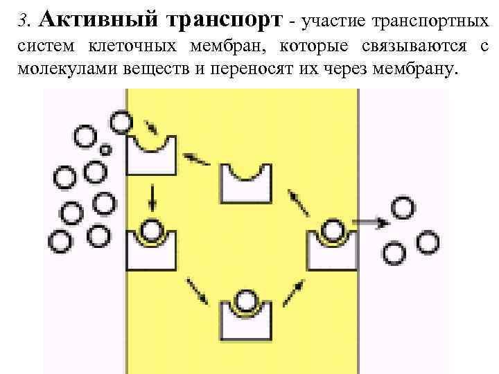 3. Активный транспорт - участие транспортных систем клеточных мембран, которые связываются с молекулами веществ