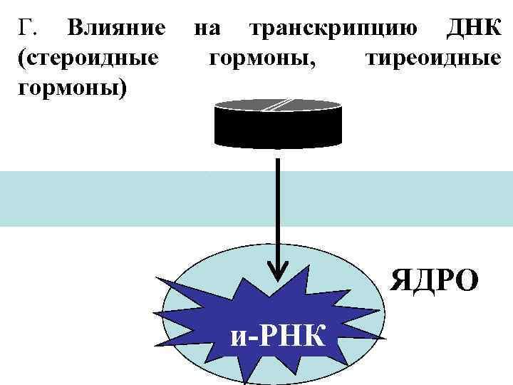 Г. Влияние (стероидные гормоны) на транскрипцию ДНК гормоны, тиреоидные ЯДРО и-РНК