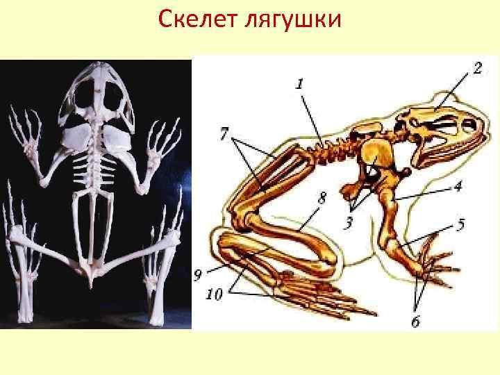 строение лягушки картинки скелет меч