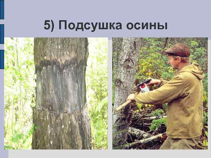5) Подсушка осины