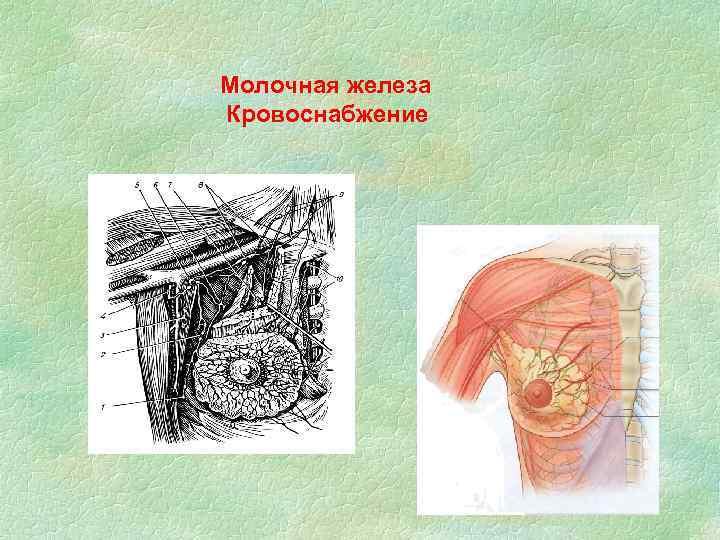 Молочная железа Кровоснабжение