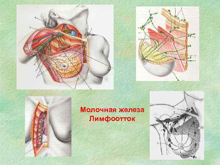 Молочная железа Лимфоотток