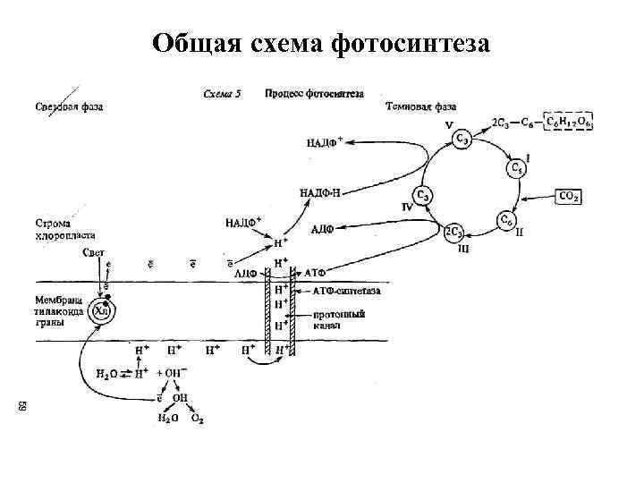 дают возможность каменский схема фотосинтеза сделала