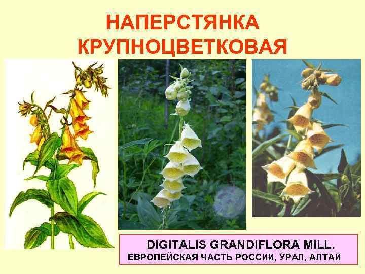 digitalis purpurea 5 ch