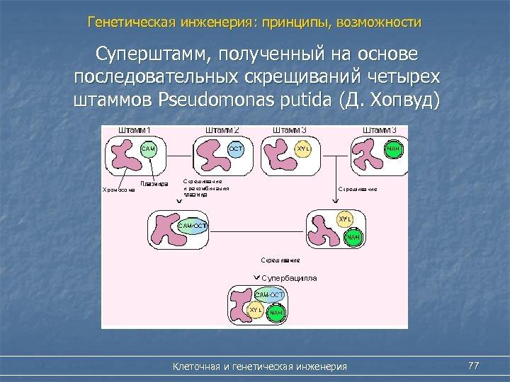 Генетическая инженерия: принципы, возможности Суперштамм, полученный на основе последовательных скрещиваний четырех штаммов Pseudomonas putida