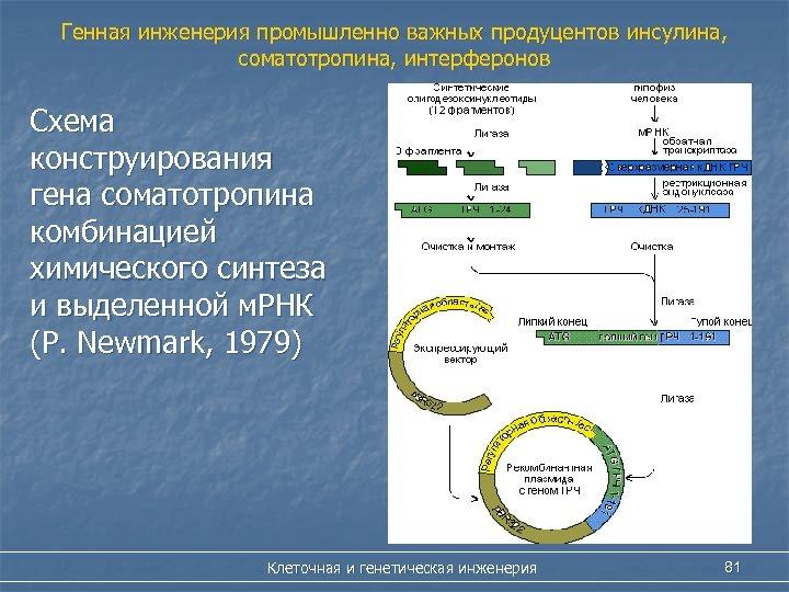 Генная инженерия промышленно важных продуцентов инсулина, соматотропина, интерферонов Схема конструирования гена соматотропина комбинацией химического