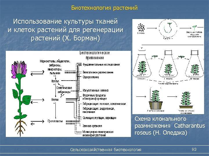 Биотехнология растений Использование культуры тканей и клеток растений для регенерации растений (Х. Борман) Схема