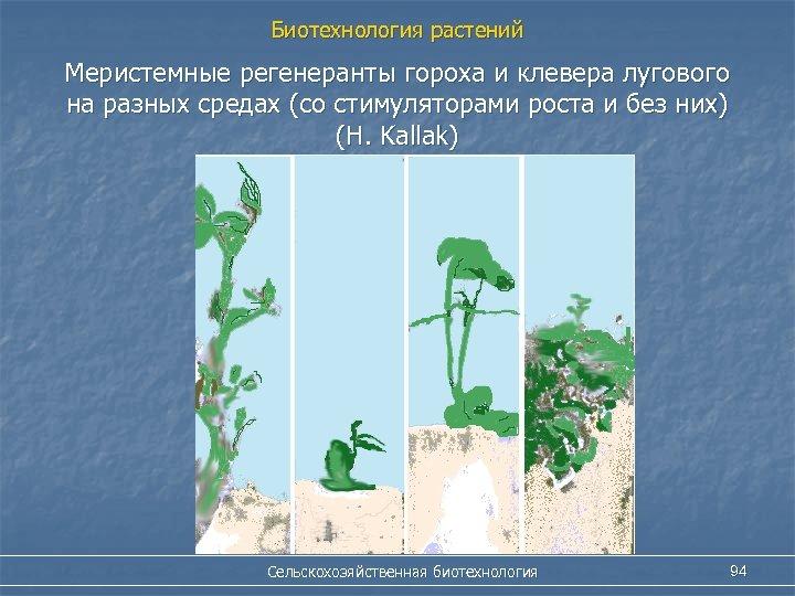 Биотехнология растений Меристемные регенеранты гороха и клевера лугового на разных средах (со стимуляторами роста