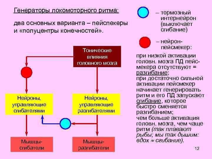 Генераторы локомоторного ритма: два основных варианта – пейспекеры и «полуцентры конечностей» . Тонические влияния