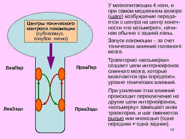 У млекопитающих 4 ноги, и при самом медленном аллюре (шаге) возбуждение передается с центра