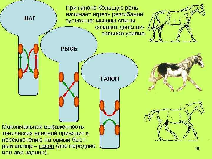 ШАГ При галопе большую роль начинает играть разгибание туловища: мышцы спины создают дополнительное усилие.