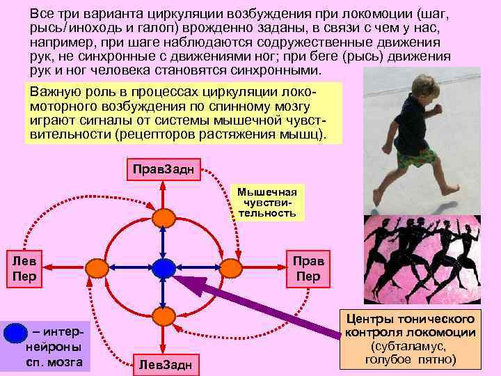 Все три варианта циркуляции возбуждения при локомоции (шаг, рысь / иноходь и галоп) врожденно