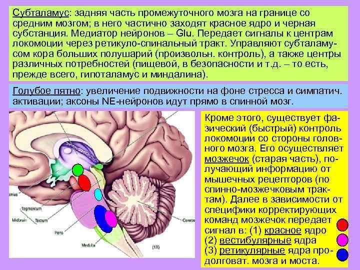 Субталамус: задняя часть промежуточного мозга на границе со средним мозгом; в него частично заходят