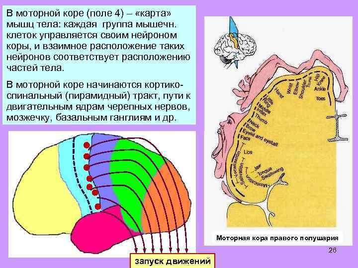 В моторной коре (поле 4) – «карта» мышц тела: каждая группа мышечн. клеток управляется