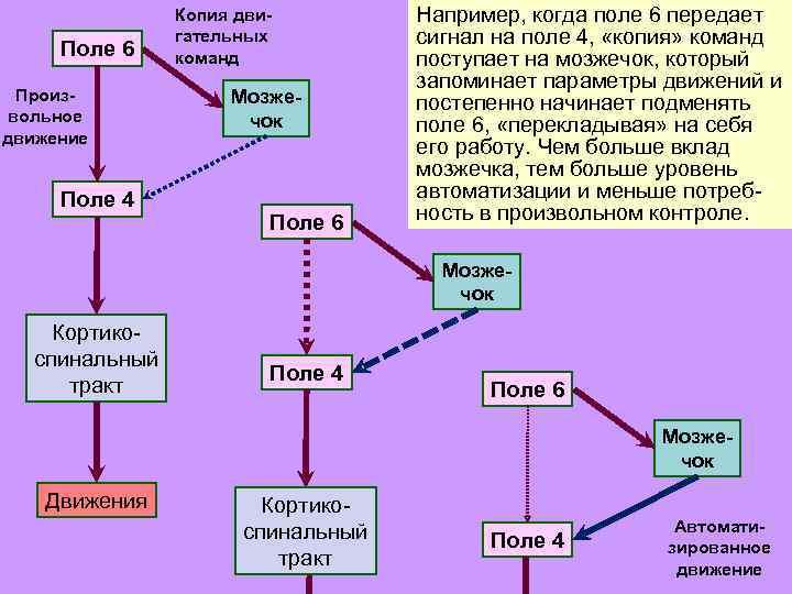 Поле 6 Произвольное движение Поле 4 Копия двигательных команд Мозжечок Поле 6 Например, когда
