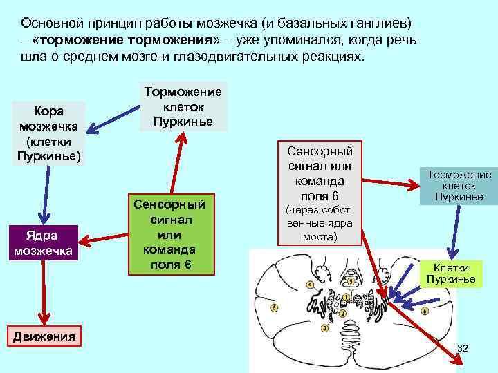 Основной принцип работы мозжечка (и базальных ганглиев) – «торможение торможения» – уже упоминался, когда