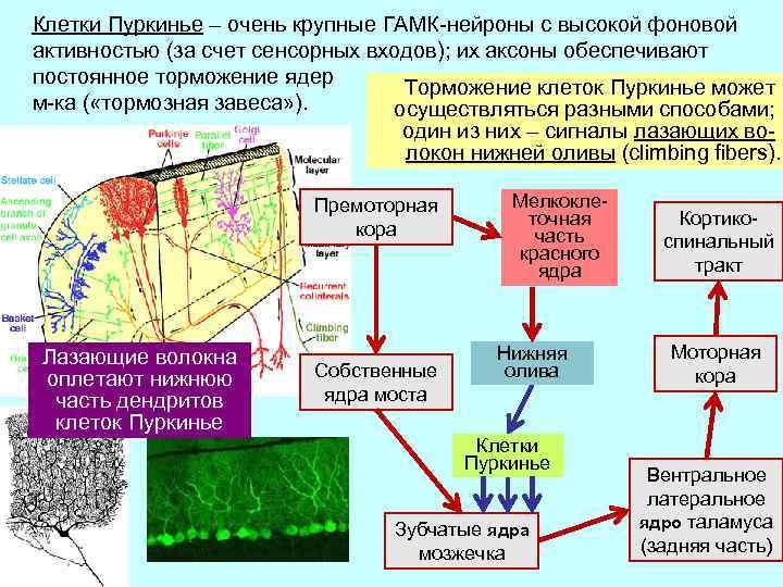 Клетки Пуркинье – очень крупные ГАМК-нейроны с высокой фоновой активностью (за счет сенсорных входов);