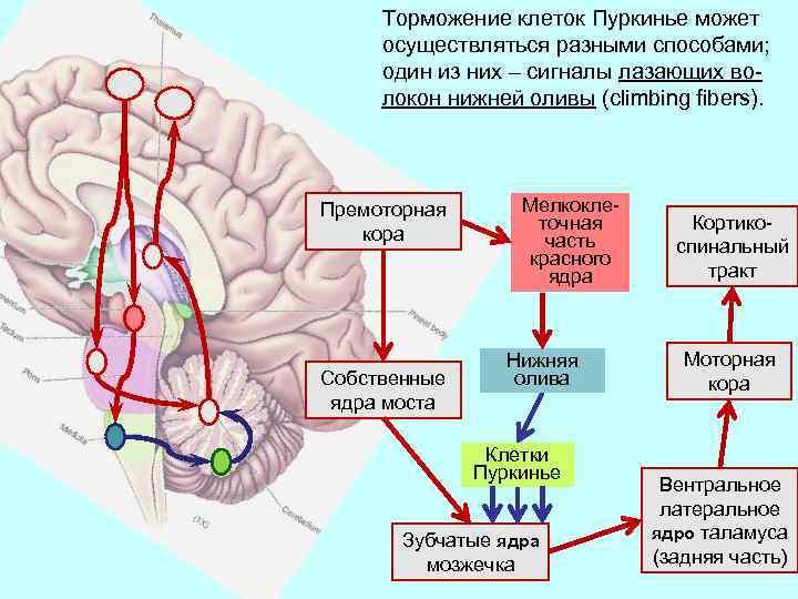Торможение клеток Пуркинье может осуществляться разными способами; один из них – сигналы лазающих волокон