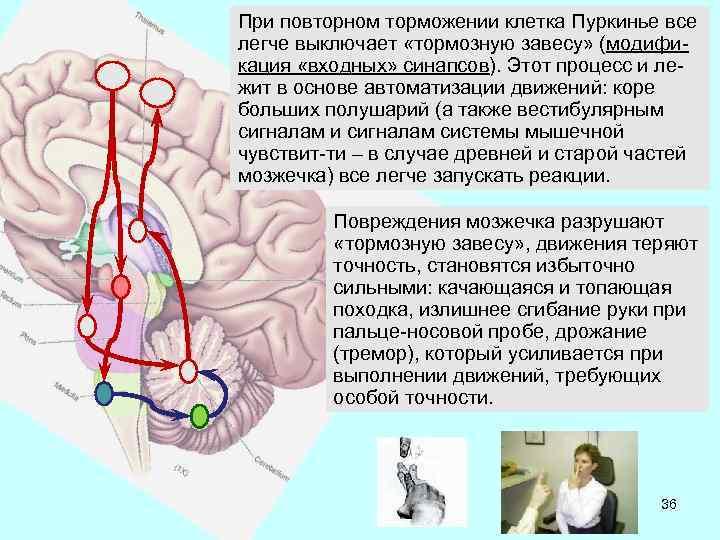 При повторном торможении клетка Пуркинье все легче выключает «тормозную завесу» (модификация «входных» синапсов). Этот