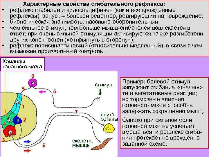 • • Характерные свойства сгибательного рефлекса: рефлекс стабилен и видоспецифичен (как и все