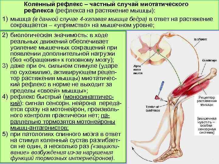Коленный рефлекс – частный случай миотатического рефлекса (рефлекса на растяжение мышцы): 1) мышца (в
