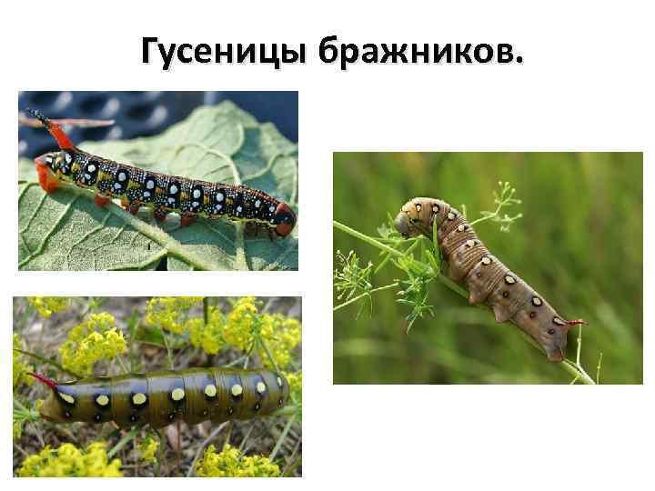 Гусеницы бражников.