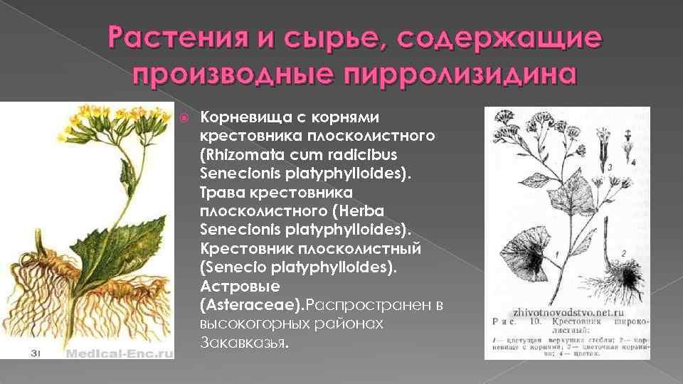 Растения и сырье, содержащие производные пирролизидина Корневища с корнями крестовника плосколистного (Rhizomata cum radicibus