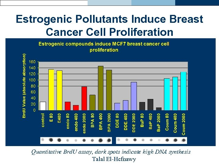 Estrogenic Pollutants Induce Breast Cancer Cell Proliferation Quantitative Brd. U assay, dark spots indicate