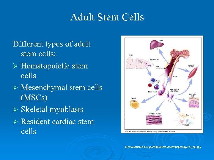 Adult Stem Cells Different types of adult stem cells: Ø Hematopoietic stem cells Ø