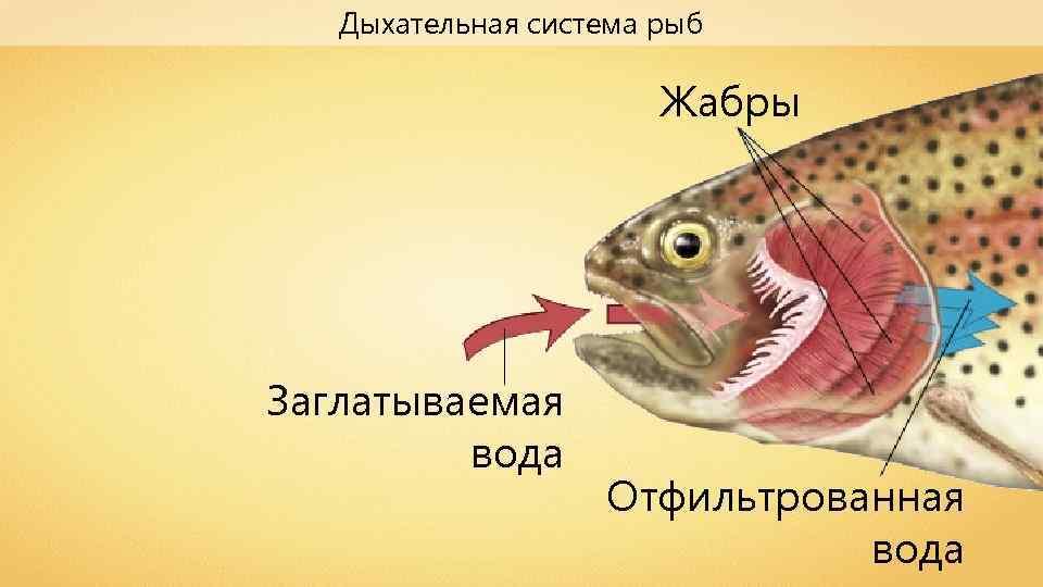 Дыхательная система рыб Жабры Заглатываемая вода Отфильтрованная вода