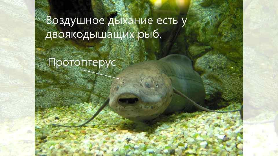 Воздушное дыхание есть у двоякодышащих рыб. Протоптерус