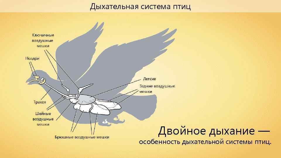 Дыхательная система птиц Двойное дыхание — особенность дыхательной системы птиц.