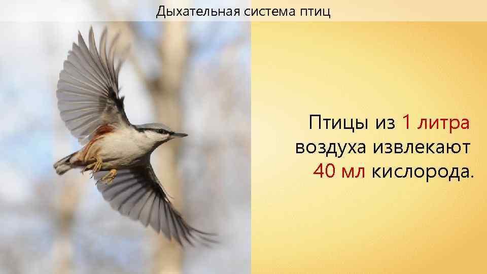 Дыхательная система птиц Птицы из 1 литра воздуха извлекают 40 мл кислорода.