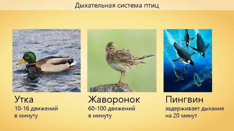 Дыхательная система птиц Утка 10 -16 движений в минуту Жаворонок 60 -100 движений в