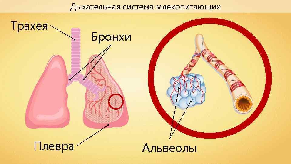 Дыхательная система млекопитающих Трахея Плевра Бронхи Альвеолы