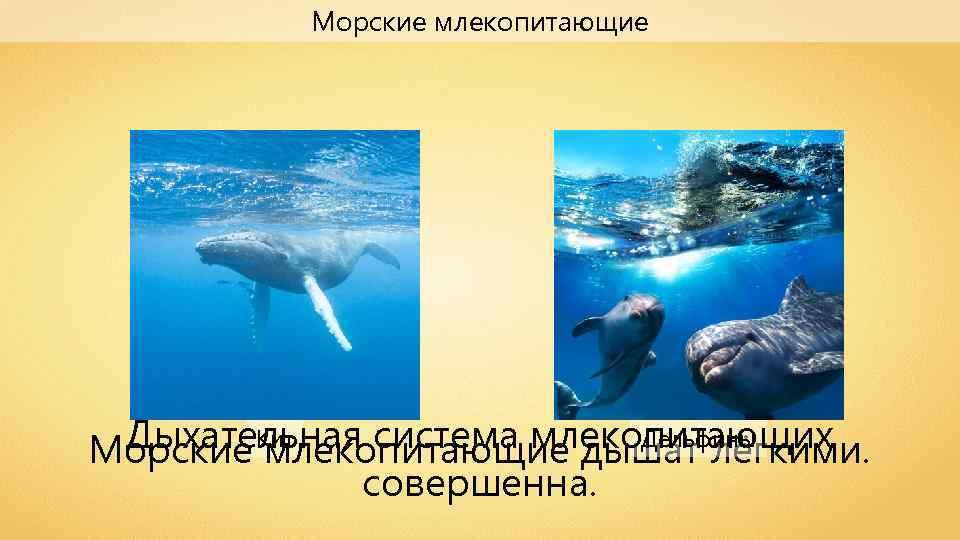 Морские млекопитающие Кит Дельфины Дыхательная система млекопитающих Морские млекопитающие дышат лёгкими. совершенна.