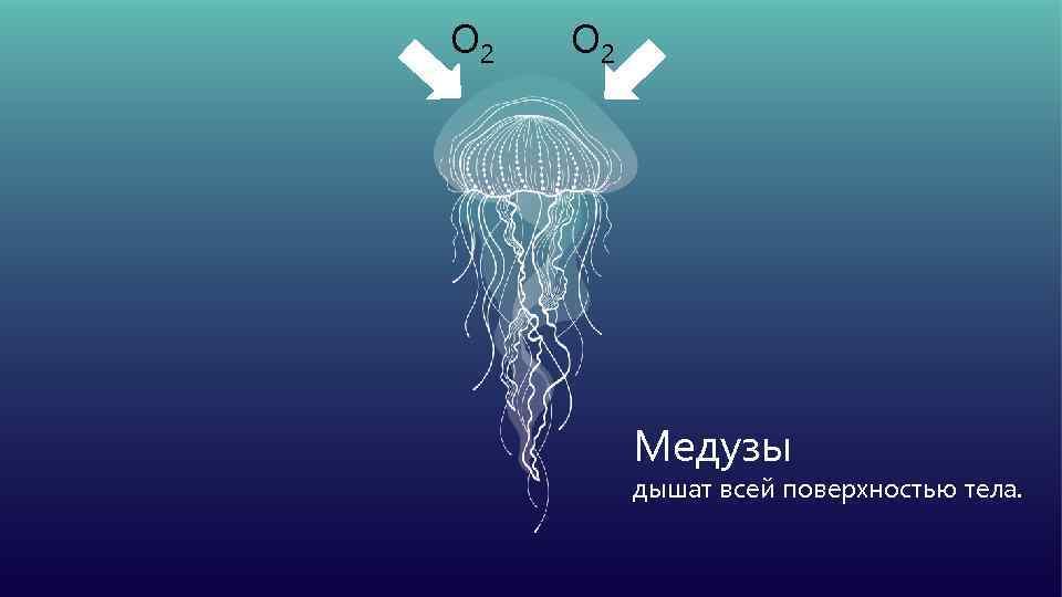 О 2 Медузы дышат всей поверхностью тела.