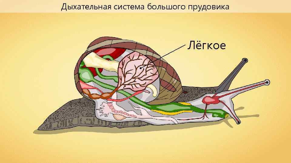 Дыхательная система большого прудовика Лёгкое