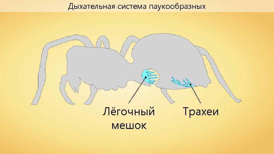 Дыхательная система паукообразных Лёгочный мешок Трахеи