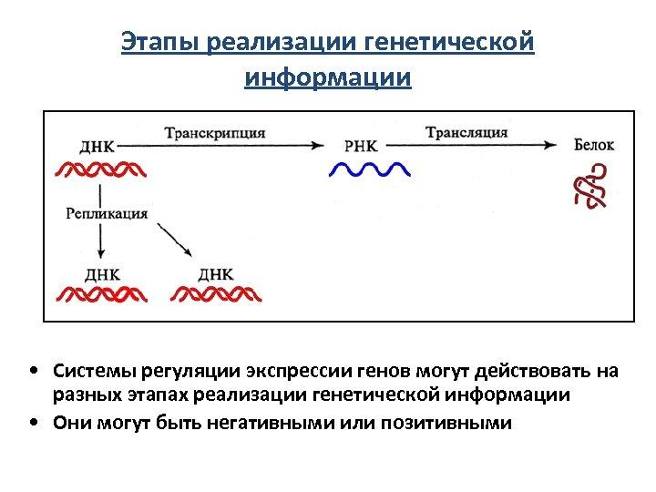 Этапы реализации генетической информации • Системы регуляции экспрессии генов могут действовать на разных этапах